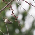 Photos: 蕾の枝垂桜にキクイタダキ0318 (2)t