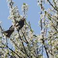 Photos: スモモの木にヒヨドリが0331t