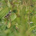 ノビタキ幼鳥0714 (1)t