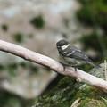 ヒガラ幼鳥0721