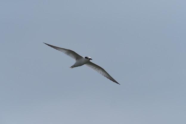 コアジサシ幼鳥0728 (1)