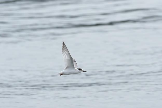 コアジサシ幼鳥0728 (4)