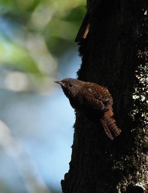 ミソサザイ幼鳥0804 (3)t