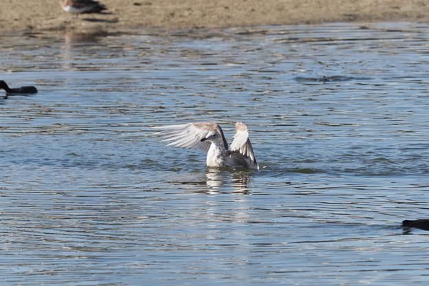 セグロカモメ幼鳥水浴び1118 (1)