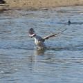 セグロカモメ幼鳥水浴び1118 (2)