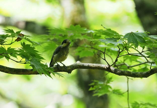 ヒガラ幼鳥0803