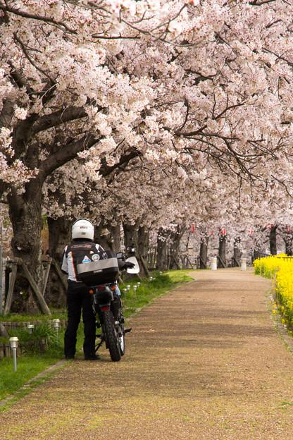 ご近所桜道で自撮り・5