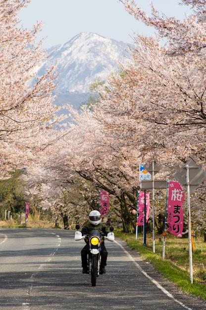 大山・豊房の桜並木・2