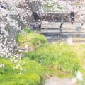 Photos: 2019夙川公園の桜・4