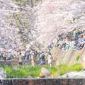 2019夙川公園の桜・5