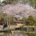 2019しあわせ村の桜・1