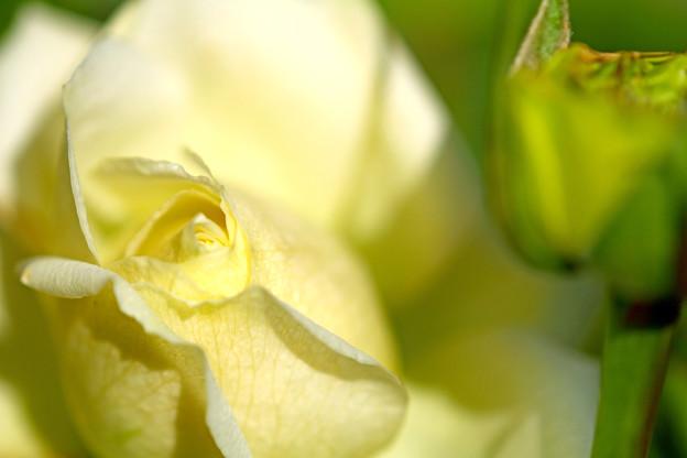 Photos: 庭のバラ