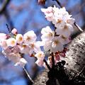 Photos: 一分咲き