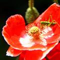 写真: ポピーの花の上