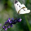 写真: ラベンダーの花
