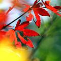 写真: 色づく病葉