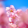 Photos: 5分咲きの河津桜