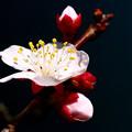 写真: 庭の梅