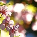 Photos: 葉桜になる早咲きの桜