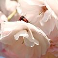 八重桜の上で