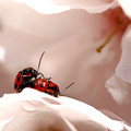 Photos: 八重桜の上で