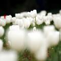 Photos: 白いチューリップ