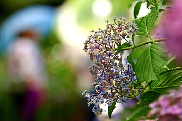 紫陽花の頃