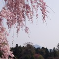 Photos: 枝垂れ桜と比叡山