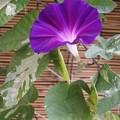 写真: 暁の紫