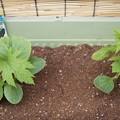 Photos: ゴーヤを植える
