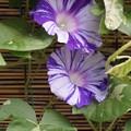 Photos: 江戸紫