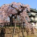 弘前城 本丸の弘前枝垂れ桜