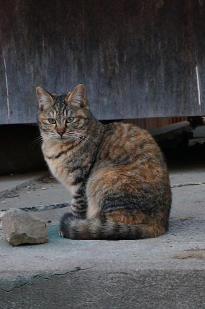 野良猫キジトラ
