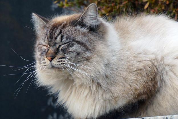 Photos: もふもふ猫