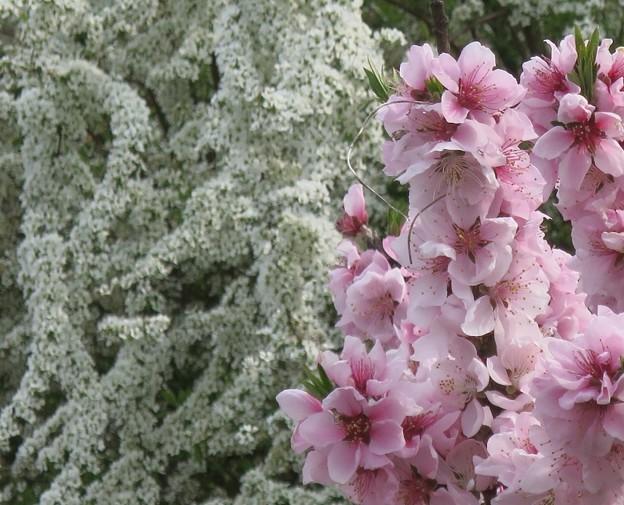 花桃とユキヤナギ