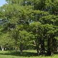 Photos: スズランが咲く森