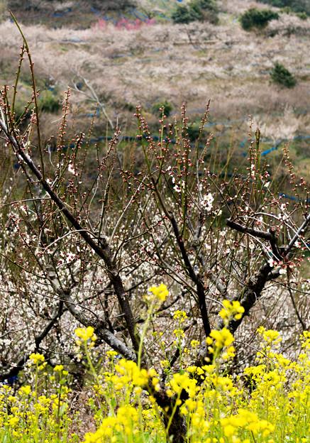 南部梅林菜の花E-01304