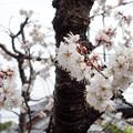 写真: 桃桜DSC00664_ed