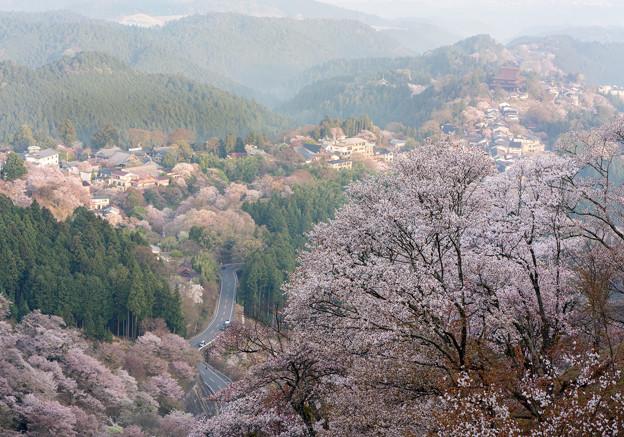 吉野桜2-06371