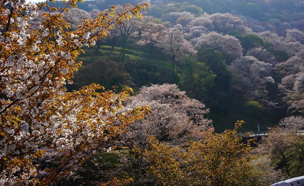 吉野滝桜道DSC06536_ed