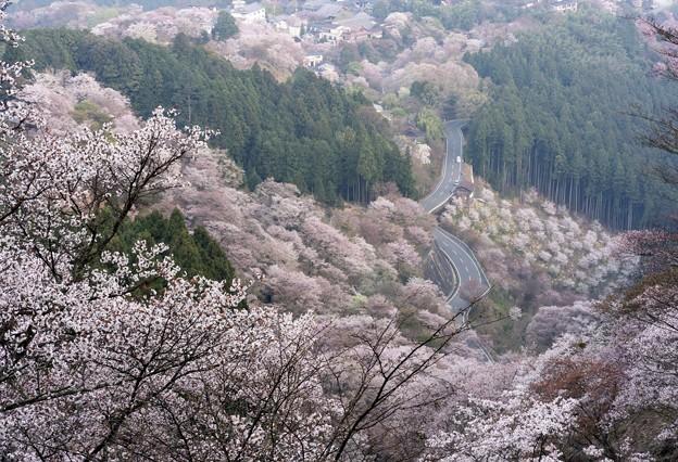 吉野滝桜-06336S