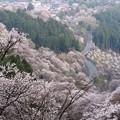 Photos: 吉野滝桜-06336S