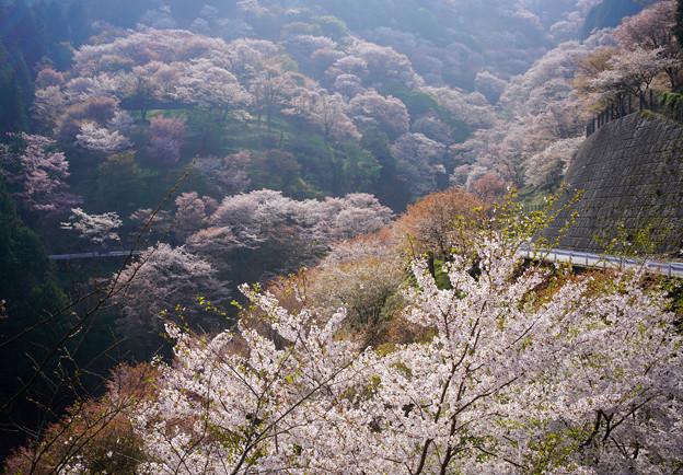 吉野滝桜DSC06520_ed