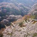 Photos: 吉野滝桜DSC06520_ed