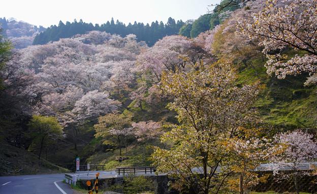 吉野滝桜DSC06560_ed
