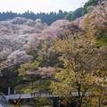 Photos: 吉野滝桜DSC06560_ed