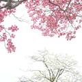 花みずきDSC07029
