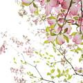 花みずき40DSC07225
