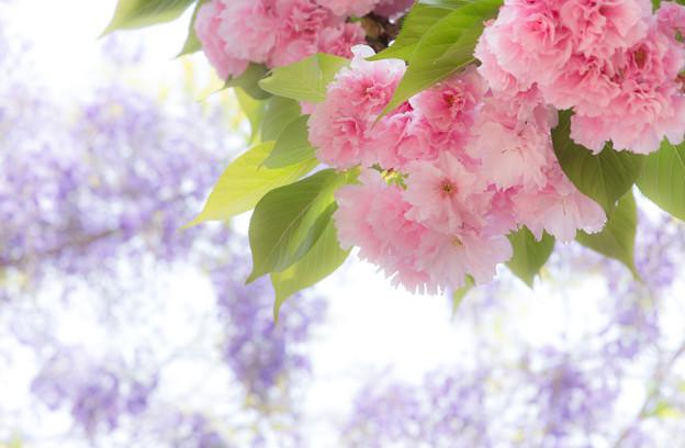 八重桜藤空-07479