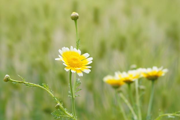春菊DSC09060